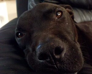 October is National Pit Bull Awareness Month